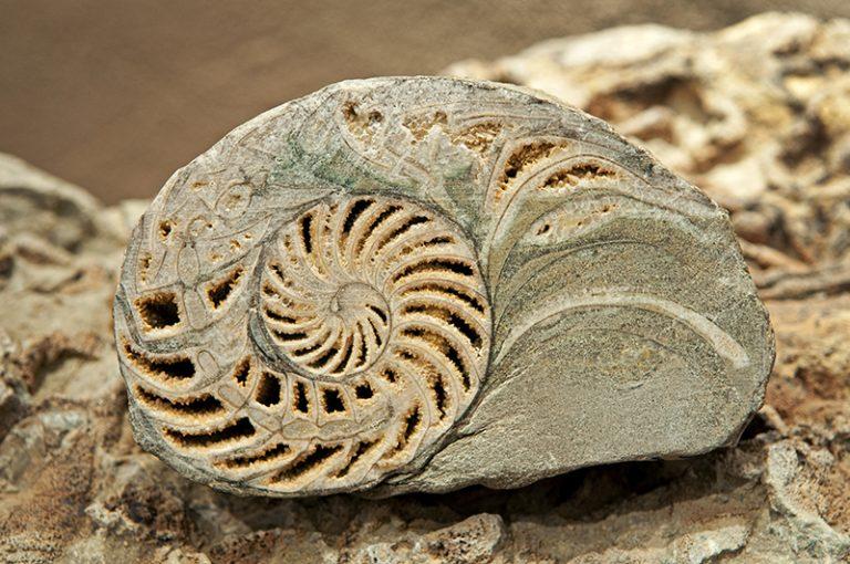 Colección Paleontológica Nautiloideo